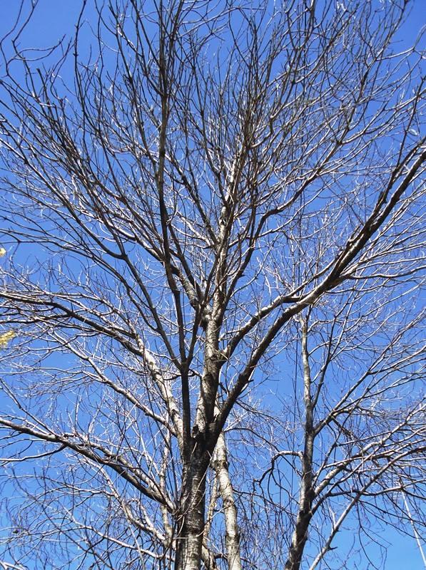 pohon tanpa daun